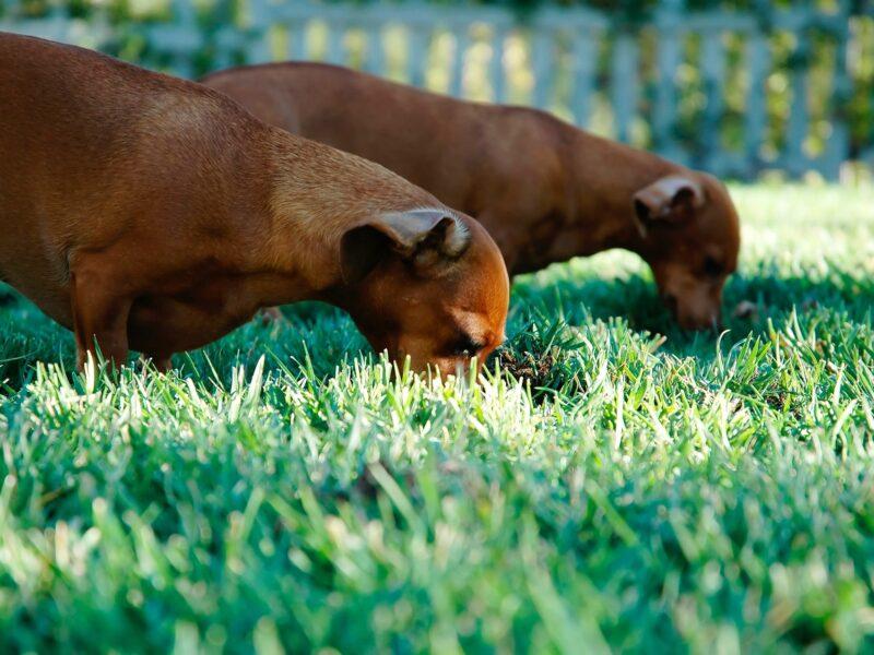 por qué los perros comen hierba