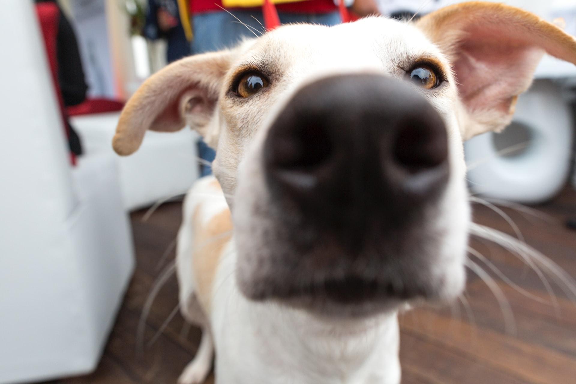 bigotes del perro
