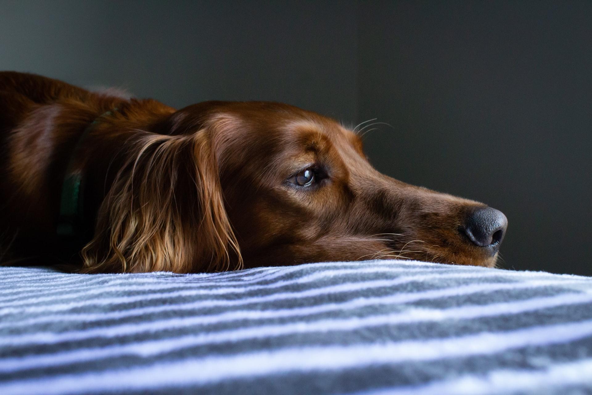 dolor en los perros- detectar cuando un perro sufre en silencio